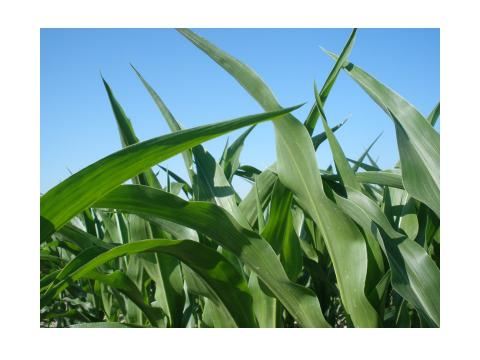 Picture of Growing Corn